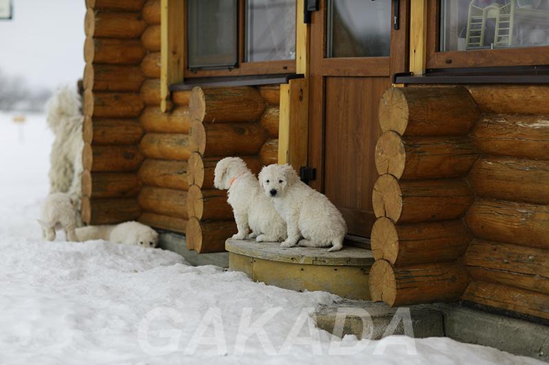 Комондора щенков продаем,  Москва