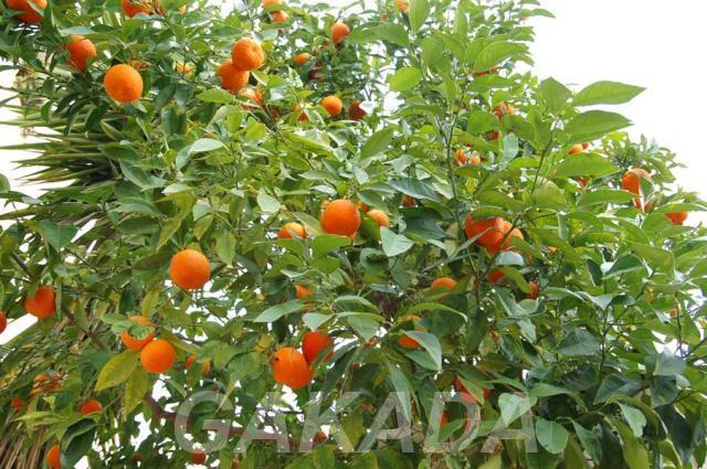 Продам мандариновый бизнес в Абхазии, Сочи