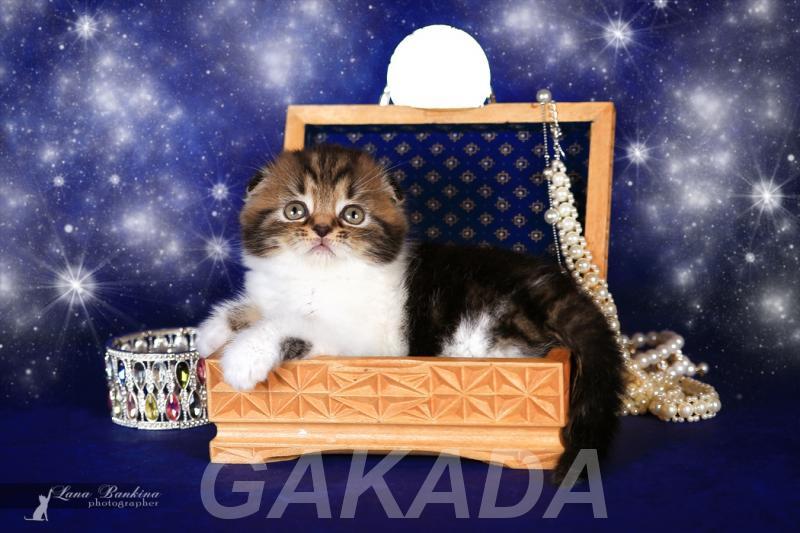 Предлагается великолепный котенок скоттиш фолда,  Астрахань