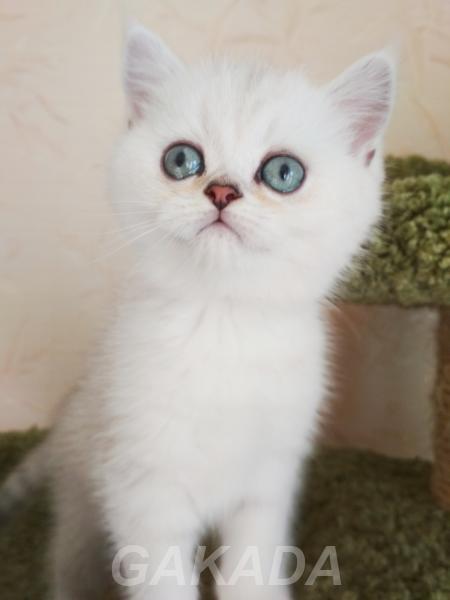 Шотландские котята не дорого, Вся Россия