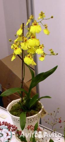 Орхидея онцидиум в горшке микс,  Москва