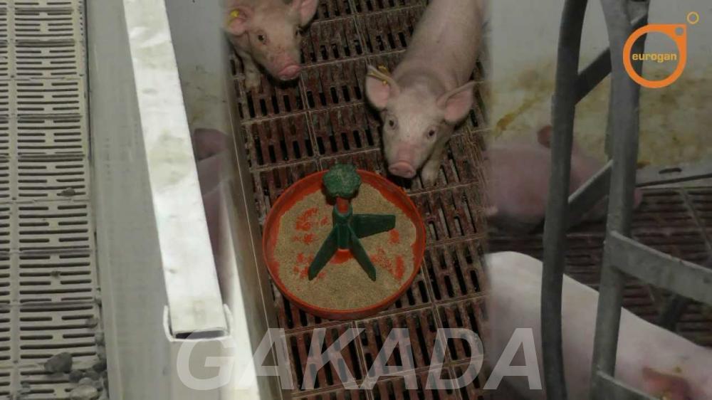 Поросята молочные с доставкой,  Великий Новгород