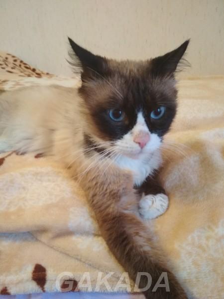 Нежный голубоглазый котик в добрые руки,  Санкт-Петербург