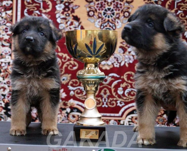 Продаём щенков немецких овчарок в Краснодаре,  Москва