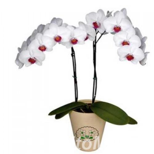 Орхидея Фаленопсис Галифакс 2 ст,  Москва
