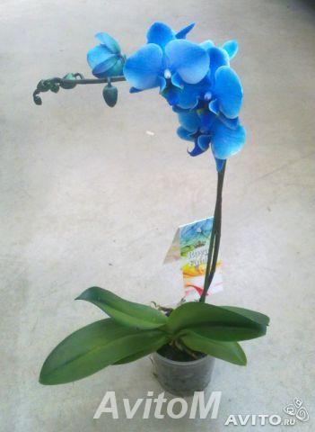Орхидея фаленопсис голубой,  Москва