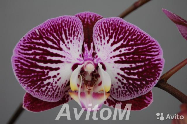 Орхидея фаленопсис Анастасия,  Москва