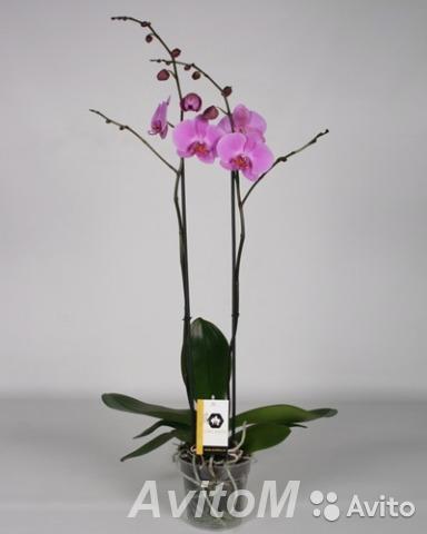 Орхидея Фаленопсис Бомбей 2 ст,  Москва