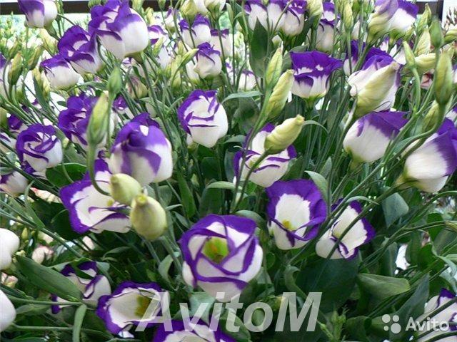 Лизиантус эустома фиолетовый,  Москва