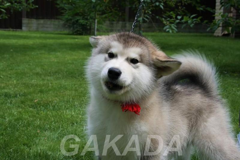 Предлагаются щенки аляскинского маламута,  Москва