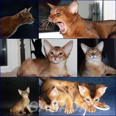 Чистокровные Абиссинские котята Американские линии,  Москва