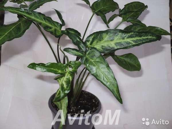 Купить сингониум вьющееся растение,  Москва