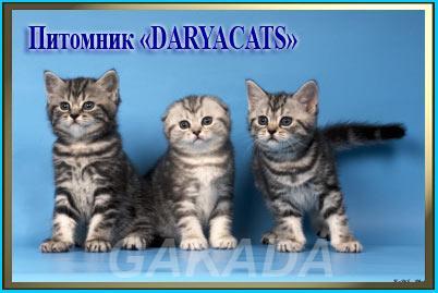 Шотландские котята мраморного окраса,  Москва