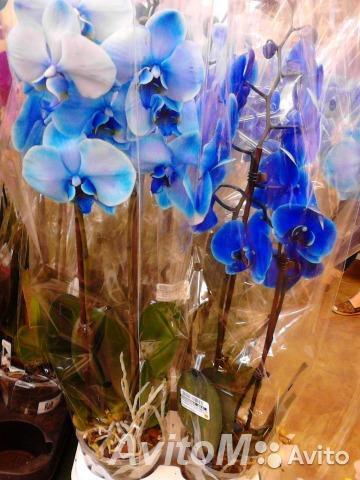 Орхидея синяя 2 ствола,  Москва