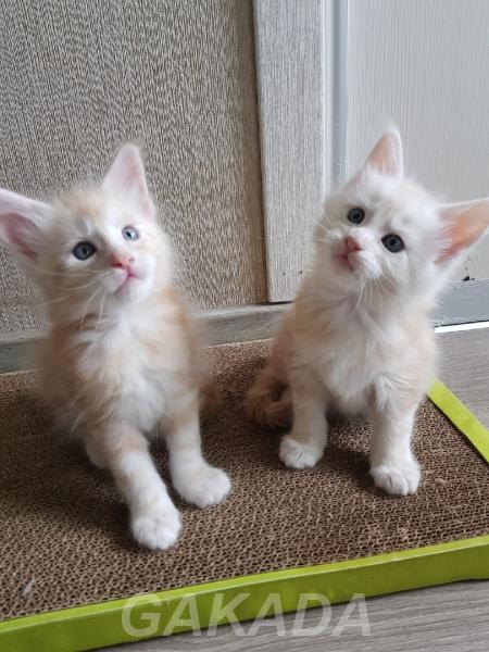 Мейн кун шикарные котята ждут вас,  Орел