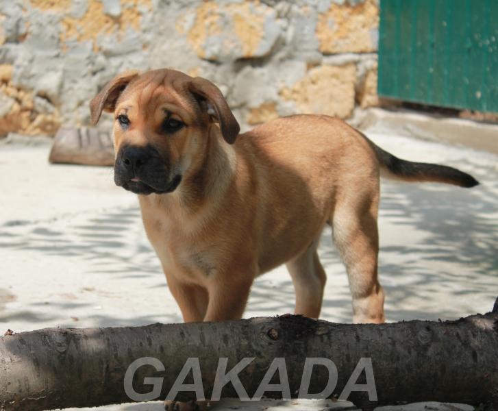 Предлагаются щенки редкой но замечательной породы Ка Де Бо, Севастополь