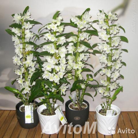 Орхидея дендробиум,  Москва