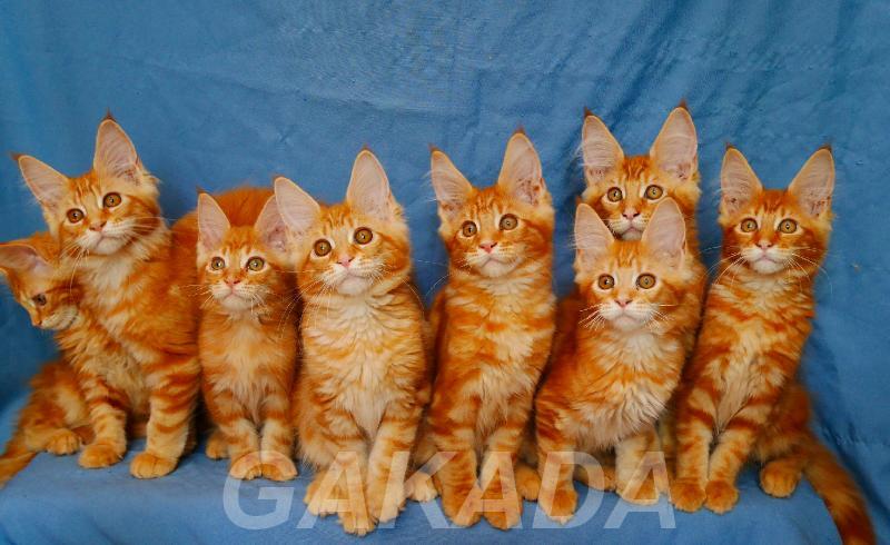 Котята мейн кун рыжего окраса, Вся Россия