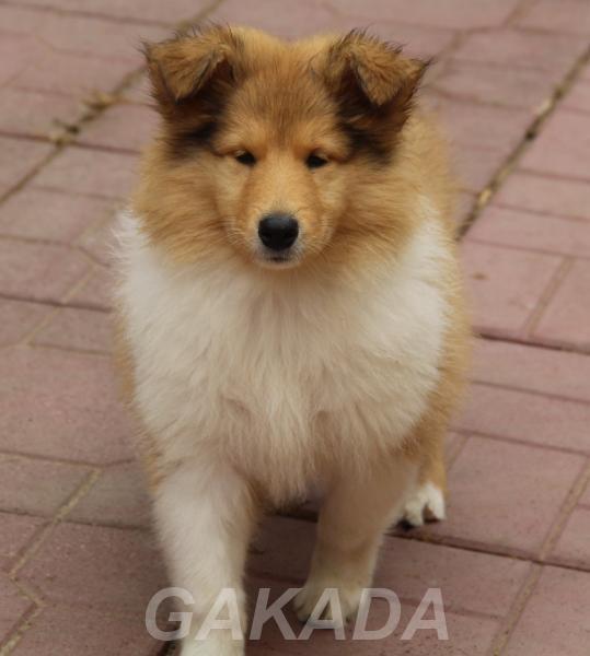 Предлагаются очаровательные щенки Колли,  Москва