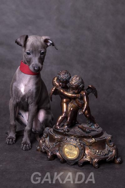 Продается щенок левретки, Артист из Петергофа, Вся Россия