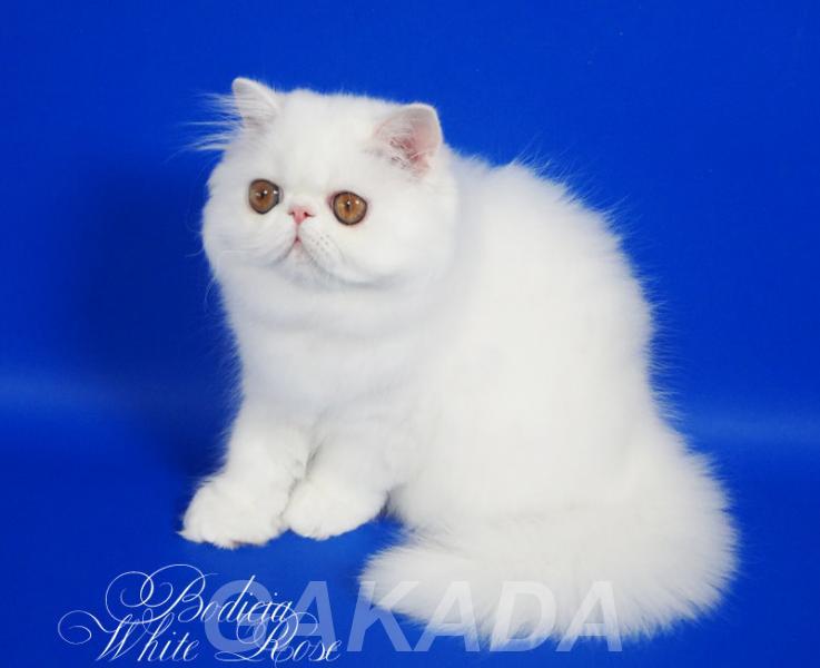 Персидский котенок белого окраса Бодисия, Вся Россия