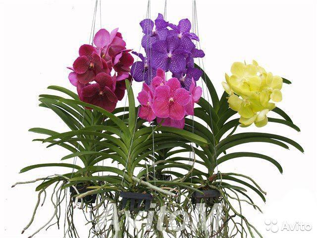 Орхидея ванда микс подвесная,  Москва